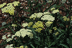 Moon Dust Yarrow (Achillea 'Novaachdus') at Stauffers Of Kissel Hill