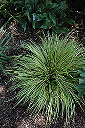 EverColor® Everillo Japanese Sedge (Carex oshimensis 'Everillo') at Stauffers Of Kissel Hill