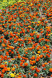 Durango Red Marigold (Tagetes patula 'Durango Red') at Stauffers Of Kissel Hill