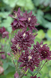 Clementine Dark Purple Columbine (Aquilegia vulgaris 'Clementine Dark Purple') at Stauffers Of Kissel Hill