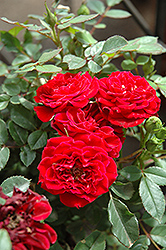 Red Sunblaze® Rose (Rosa 'Meirutral') at Stauffers Of Kissel Hill