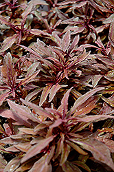 ColorBlaze® Velvet Mocha Coleus (Solenostemon scutellarioides 'Velvet Mocha') at Stauffers Of Kissel Hill