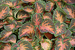 Wizard Coral Sunrise Coleus (Solenostemon scutellarioides 'Wizard Coral Sunrise') at Stauffers Of Kissel Hill