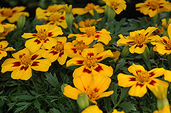 Disco Flame Marigold (Tagetes patula 'Disco Flame') at Stauffers Of Kissel Hill