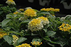 Bandana® Lemon Zest Lantana (Lantana camara 'Bandana Lemon Zest') at Stauffers Of Kissel Hill