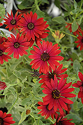 Zion Red African Daisy (Osteospermum 'Zion Red') at Stauffers Of Kissel Hill