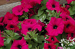 Supertunia® Royal Magenta™ Petunia (Petunia 'Supertunia Royal Magenta') at Stauffers Of Kissel Hill