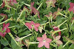 Starmaker Lime Purple Bicolor Flowering Tobacco (Nicotiana 'Starmaker Lime Purple Bicolor') at Stauffers Of Kissel Hill