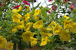 Superbells® Yellow Calibrachoa (Calibrachoa 'Superbells Yellow') at Stauffers Of Kissel Hill