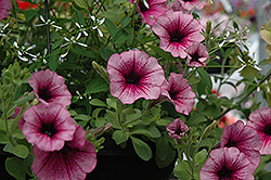 Supertunia® Mini Rose Veined Petunia (Petunia 'Supertunia Mini Rose Vein') at Stauffers Of Kissel Hill