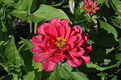 Dreamland Pink Zinnia (Zinnia 'Dreamland Pink') at Stauffers Of Kissel Hill