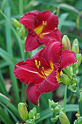 Pygmy Prince Daylily (Hemerocallis 'Pygmy Prince') at Stauffers Of Kissel Hill