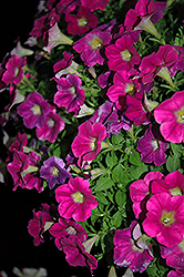 Sweetunia Hot Pink Lemonade Petunia (Petunia 'Sweetunia Hot Pink Lemonade') at Stauffers Of Kissel Hill