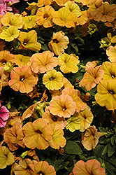 Cascadias Indian Summer Petunia (Petunia 'Cascadias Indian Summer') at Stauffers Of Kissel Hill