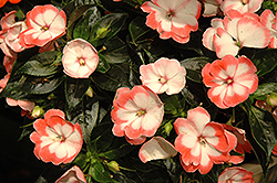 Harmony Radiance Coral New Guinea Impatiens (Impatiens hawkeri 'Harmony Radiance Coral') at Stauffers Of Kissel Hill