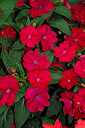 SunPatiens® Compact Royal Magenta New Guinea Impatiens (Impatiens 'SunPatiens Compact Royal Magenta') at Stauffers Of Kissel Hill