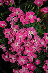 Kahori Pinks (Dianthus 'Kahori') at Stauffers Of Kissel Hill