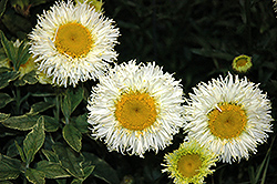 Real Galaxy Shasta Daisy (Leucanthemum x superbum 'Real Galaxy') at Stauffers Of Kissel Hill