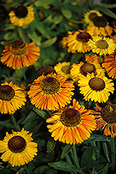 Short 'n' Sassy Sneezeweed (Helenium 'Short 'n' Sassy') at Stauffers Of Kissel Hill