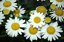 White Mountain Shasta Daisy (Leucanthemum x superbum 'White Mountain') at Stauffers Of Kissel Hill