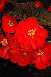 Nonstop® Mocca Scarlet Begonia (Begonia 'Nonstop Mocca Scarlet') at Stauffers Of Kissel Hill