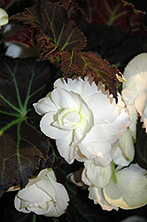 Nonstop® Mocca White Begonia (Begonia 'Nonstop Mocca White') at Stauffers Of Kissel Hill