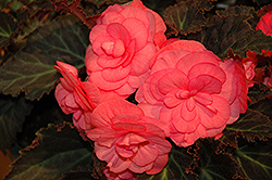 Nonstop® Mocca Pink Shades Begonia (Begonia 'Nonstop Mocca Pink Shades') at Stauffers Of Kissel Hill