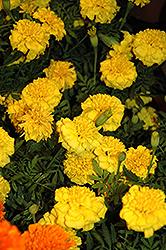 Little Hero Yellow Marigold (Tagetes patula 'Little Hero Yellow') at Stauffers Of Kissel Hill