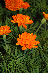 Alumia Deep Orange Marigold (Tagetes patula 'Alumia Deep Orange') at Stauffers Of Kissel Hill