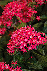 Starcluster™ Rose Star Flower (Pentas lanceolata 'Starcluster Rose') at Stauffers Of Kissel Hill
