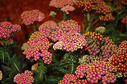 New Vintage Rose Yarrow (Achillea millefolium 'Balvinrose') at Stauffers Of Kissel Hill