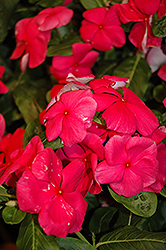 Nirvana Rose Vinca (Catharanthus roseus 'Nirvana Rose') at Stauffers Of Kissel Hill