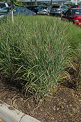 Ruby Ribbons Switch Grass (Panicum virgatum 'Ruby Ribbons') at Stauffers Of Kissel Hill