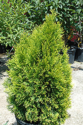 Highlights Arborvitae (Thuja occidentalis 'Janed Gold') at Stauffers Of Kissel Hill