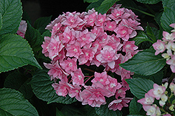 Expression Hydrangea (Hydrangea macrophylla 'Rie 06') at Stauffers Of Kissel Hill