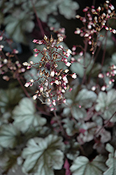 Stainless Steel Coral Bells (Heuchera 'Stainless Steel') at Stauffers Of Kissel Hill