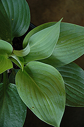 Empress Wu Hosta (Hosta 'Empress Wu') at Stauffers Of Kissel Hill
