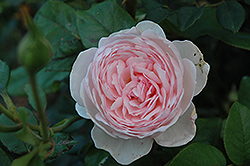 Heritage Rose (Rosa 'Heritage') at Stauffers Of Kissel Hill