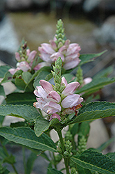 Turtlehead (Chelone glabra) at Stauffers Of Kissel Hill