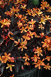 Sparks Will Fly Begonia (Begonia 'Sparks Will Fly') at Stauffers Of Kissel Hill