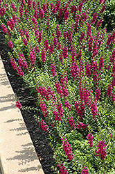 Archangel™ Raspberry Angelonia (Angelonia angustifolia 'Archangel Raspberry') at Stauffers Of Kissel Hill