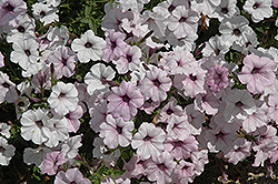 Tidal Wave Silver Petunia (Petunia 'Tidal Wave Silver') at Stauffers Of Kissel Hill