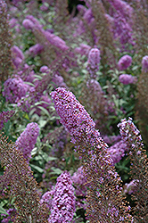 Flutterby® Pink Butterfly Bush (Buddleia davidii 'Podaras 9') at Stauffers Of Kissel Hill