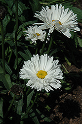 Crazy Daisy Shasta Daisy (Leucanthemum x superbum 'Crazy Daisy') at Stauffers Of Kissel Hill