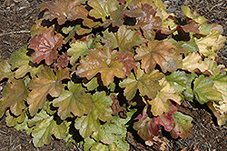Carnival Coffee Bean Coral Bells (Heuchera 'Coffee Bean') at Stauffers Of Kissel Hill