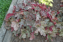 Carnival Silver Streak Coral Bells (Heuchera 'Silver Streak') at Stauffers Of Kissel Hill