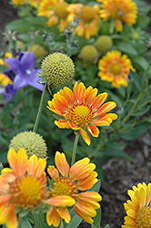 Mesa Peach Blanket Flower (Gaillardia x grandiflora 'Mesa Peach') at Stauffers Of Kissel Hill
