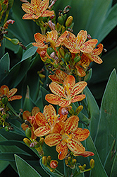 Freckle Face Blackberry Lily (Iris domestica 'Freckle Face') at Stauffers Of Kissel Hill