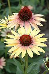 Evening Glow Coneflower (Echinacea 'Evening Glow') at Stauffers Of Kissel Hill