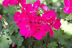 Calliope® Lavender Rose Geranium (Pelargonium 'Calliope Lavender Rose') at Stauffers Of Kissel Hill